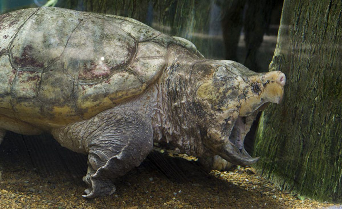 Alligator Snapping Turtle