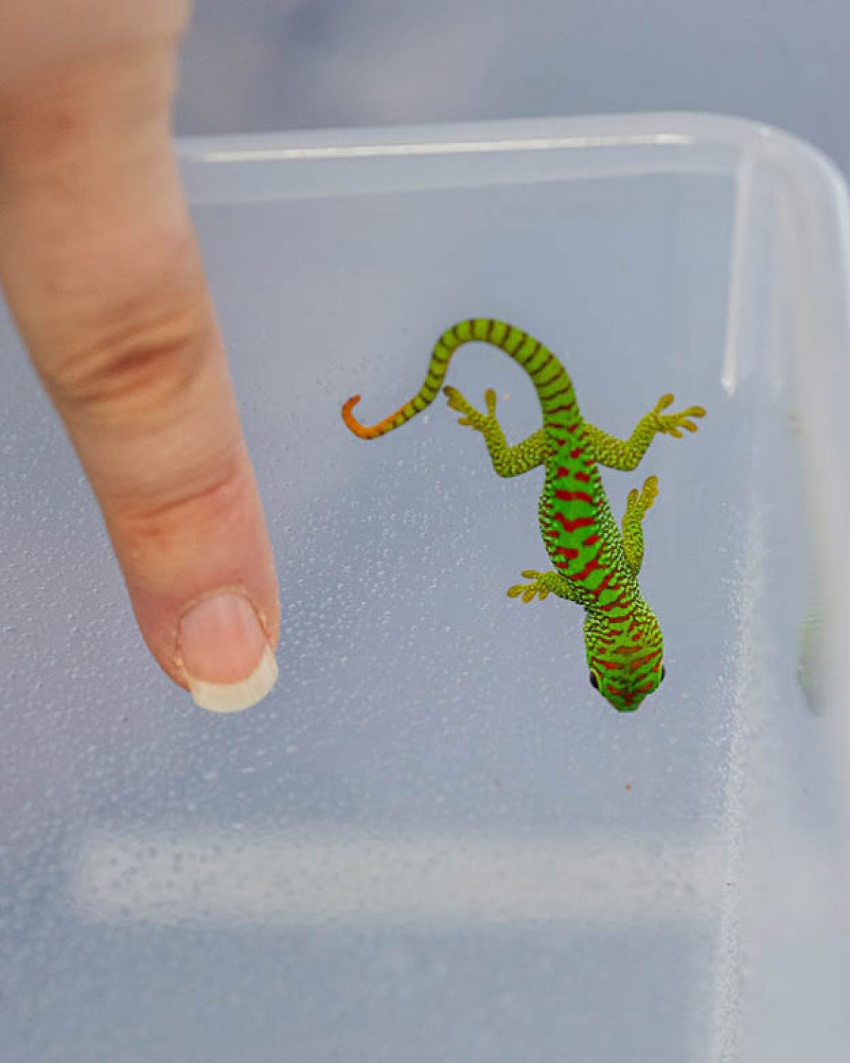 Baby Madagascar Giant Day Gecko crawling on the side of a container