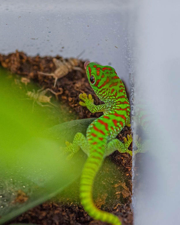 Baby Madagascar Giant Day Gecko