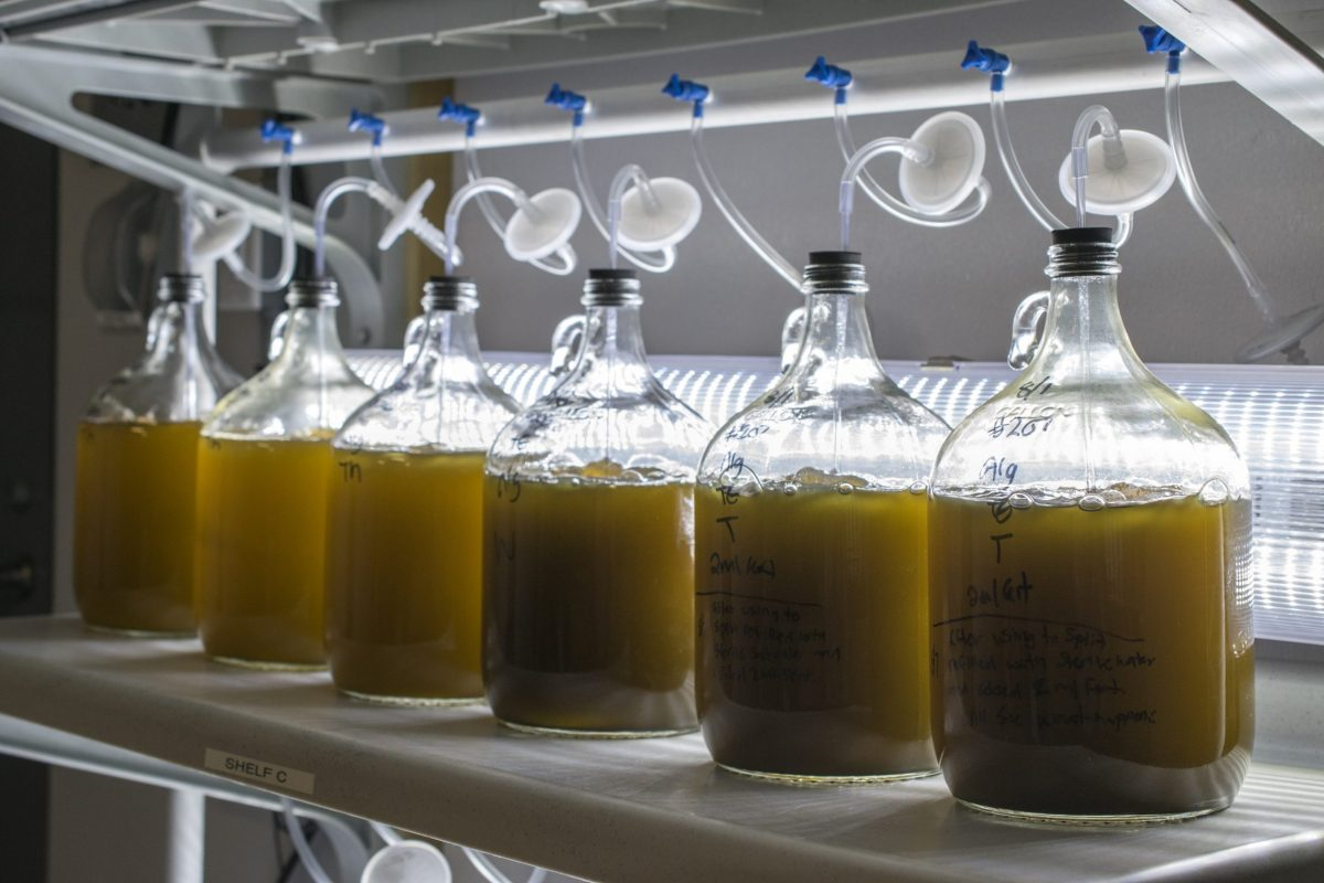 Glass vessels housing algae for the nursery