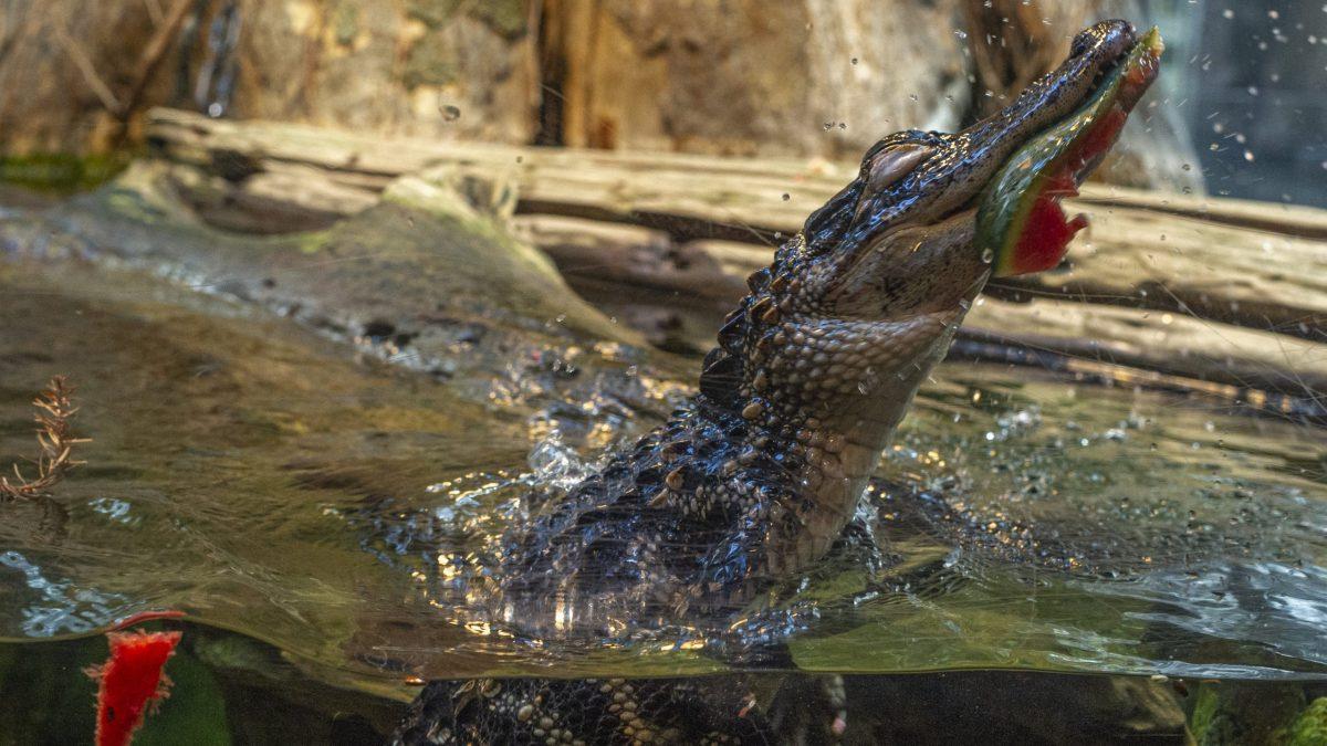 Alligators Eating Watermelon Enrichment