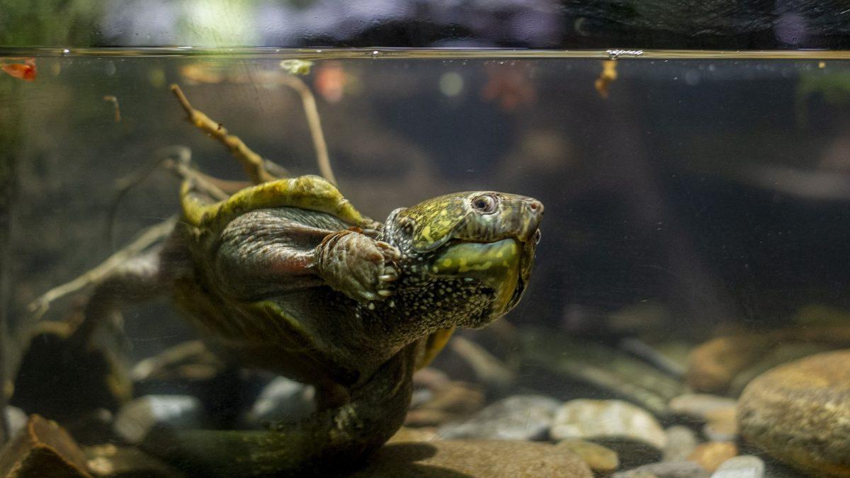 Chinese Big-headed Turtle