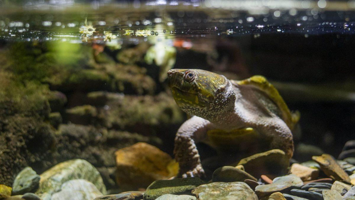 Chinese Big Headed Turtle
