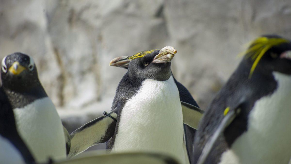 Merlin, the Aquarium's second-oldest Macaroni Penguin