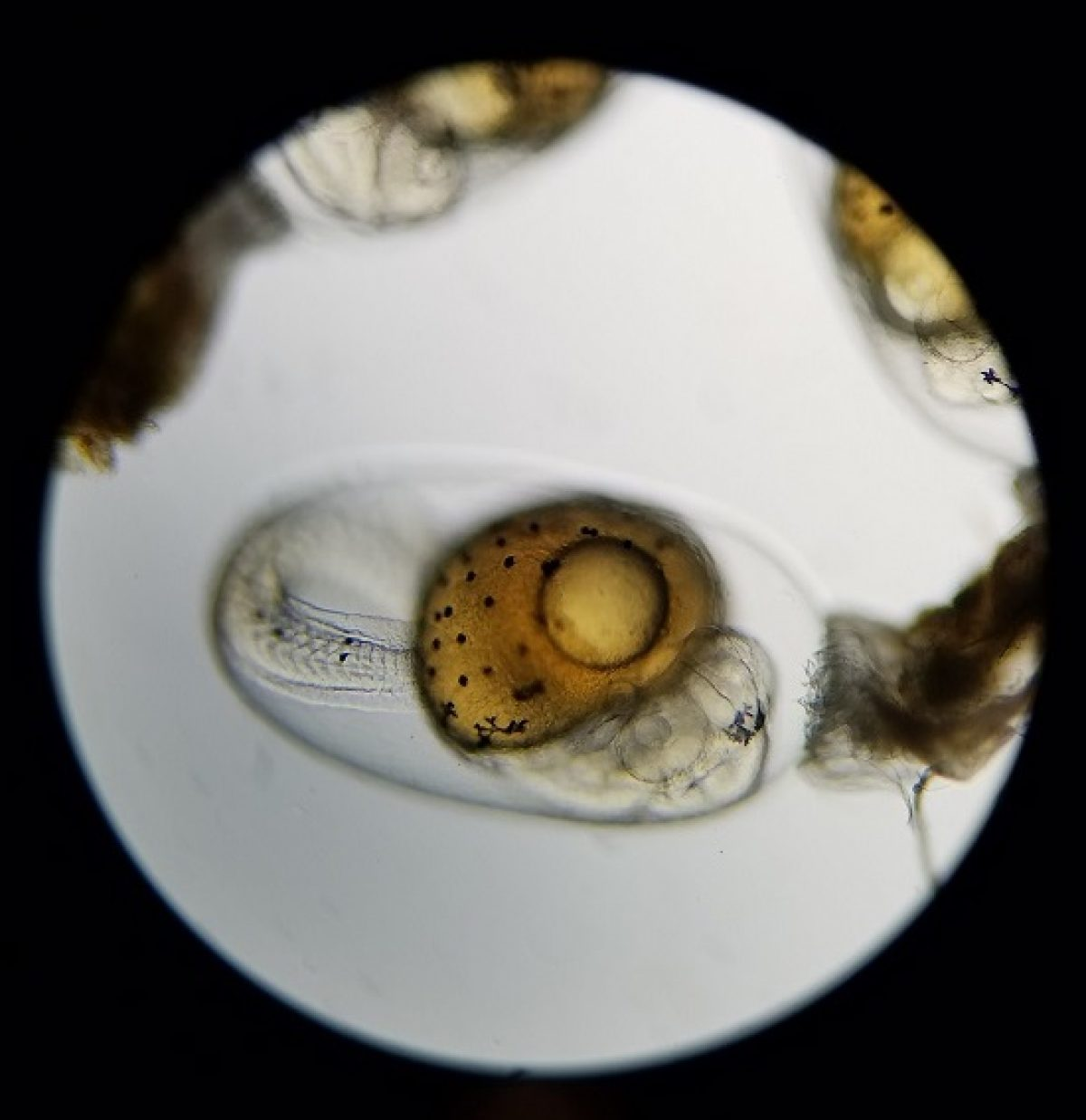 A fish egg being viewed under a microscope