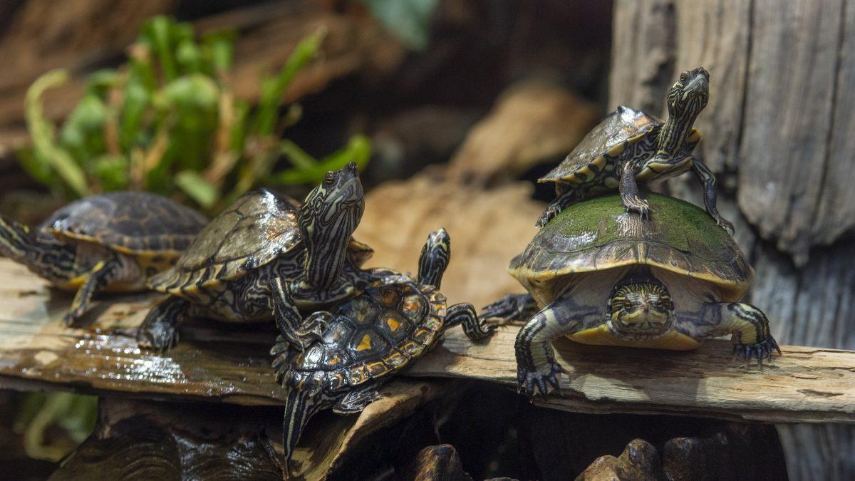 Freshwater turtles on log