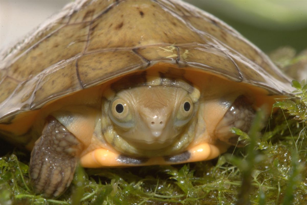 Four-Eyed Turtle Straight On