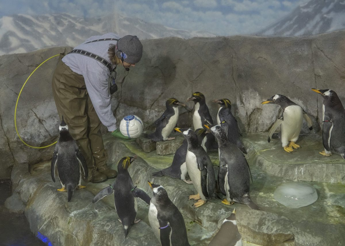 Introducing new objects to penguins as enrichment