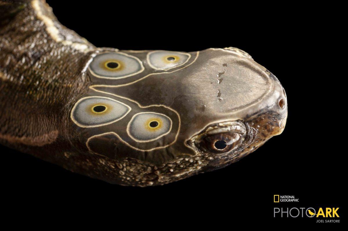 Four-eyed Turtle (Sacalia quadriocellata) Photo credit: Joel Sartore