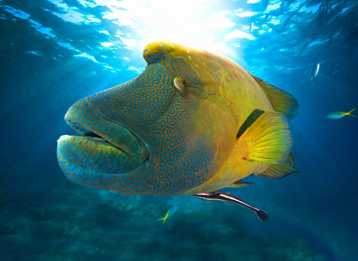 A close up of an adult wrasse