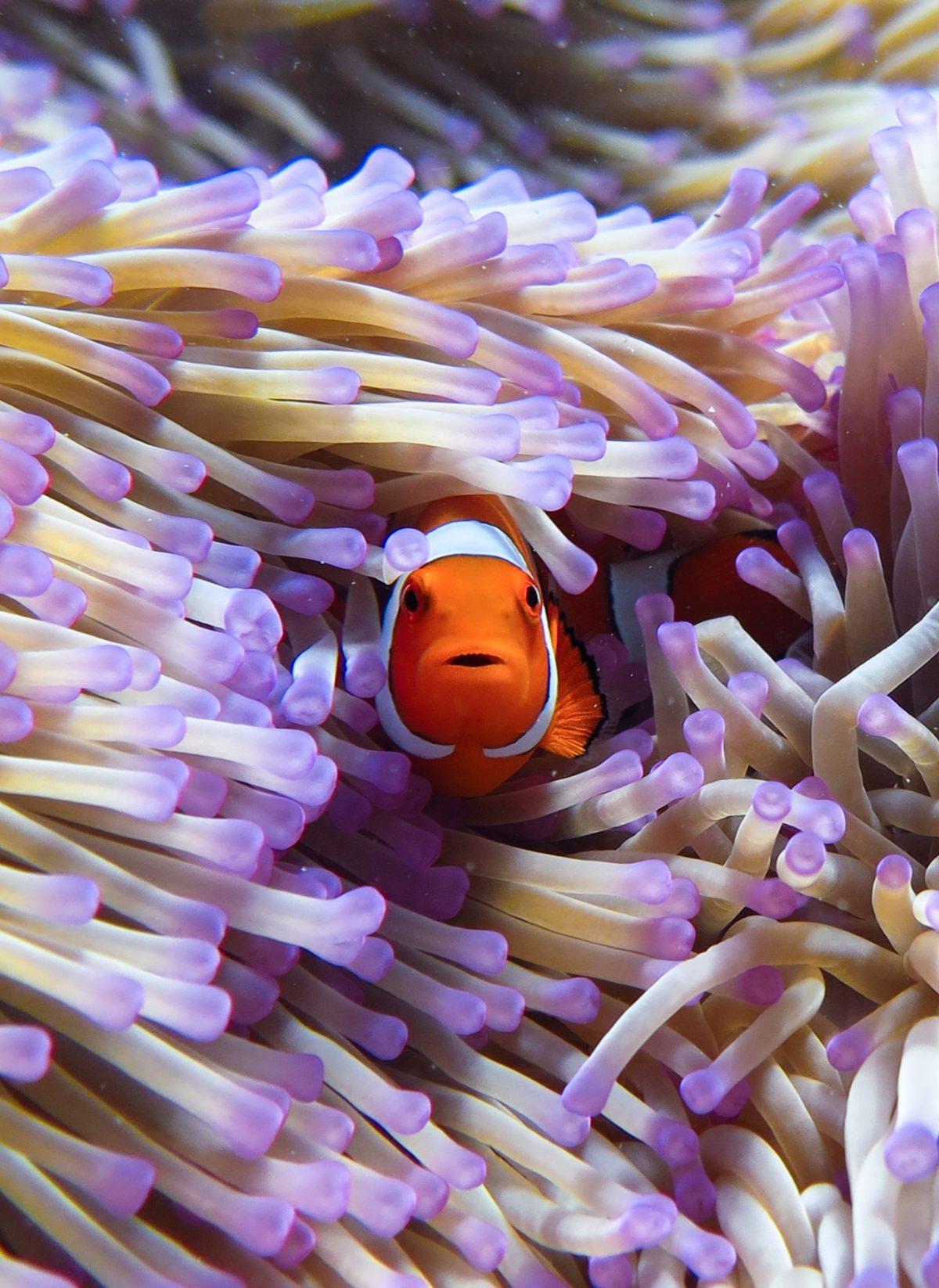 Reef_30_ClownFishCloseUp