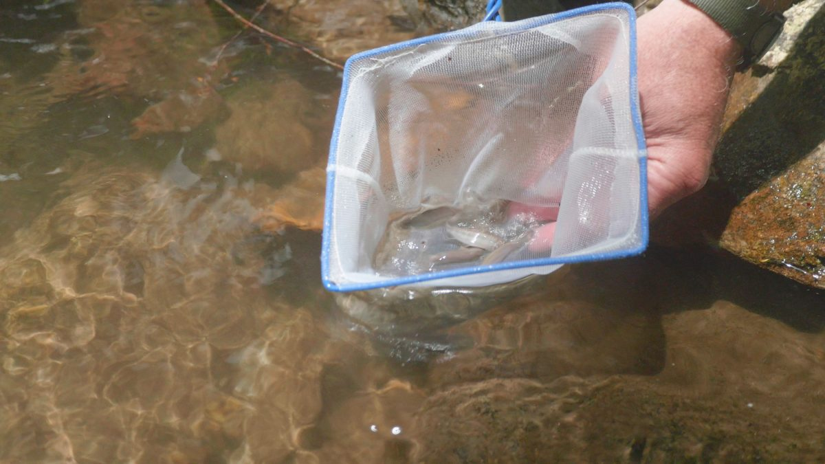 Southern Appalachian Brook Trout swimming out of net
