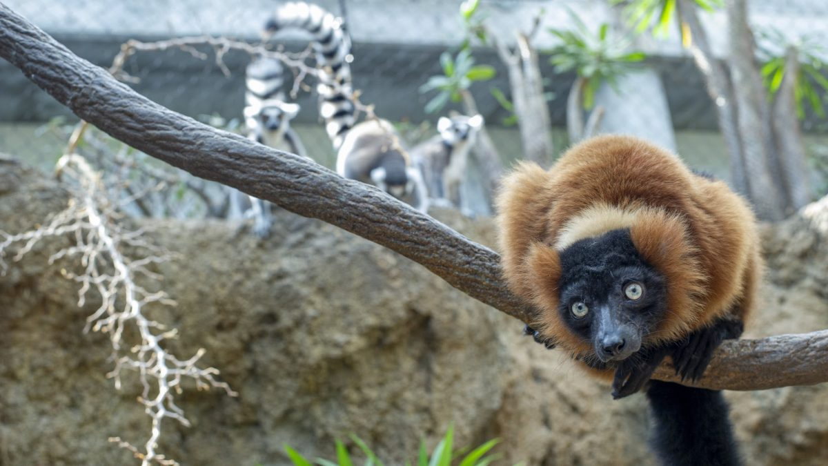 red-ruffed lemur in tree