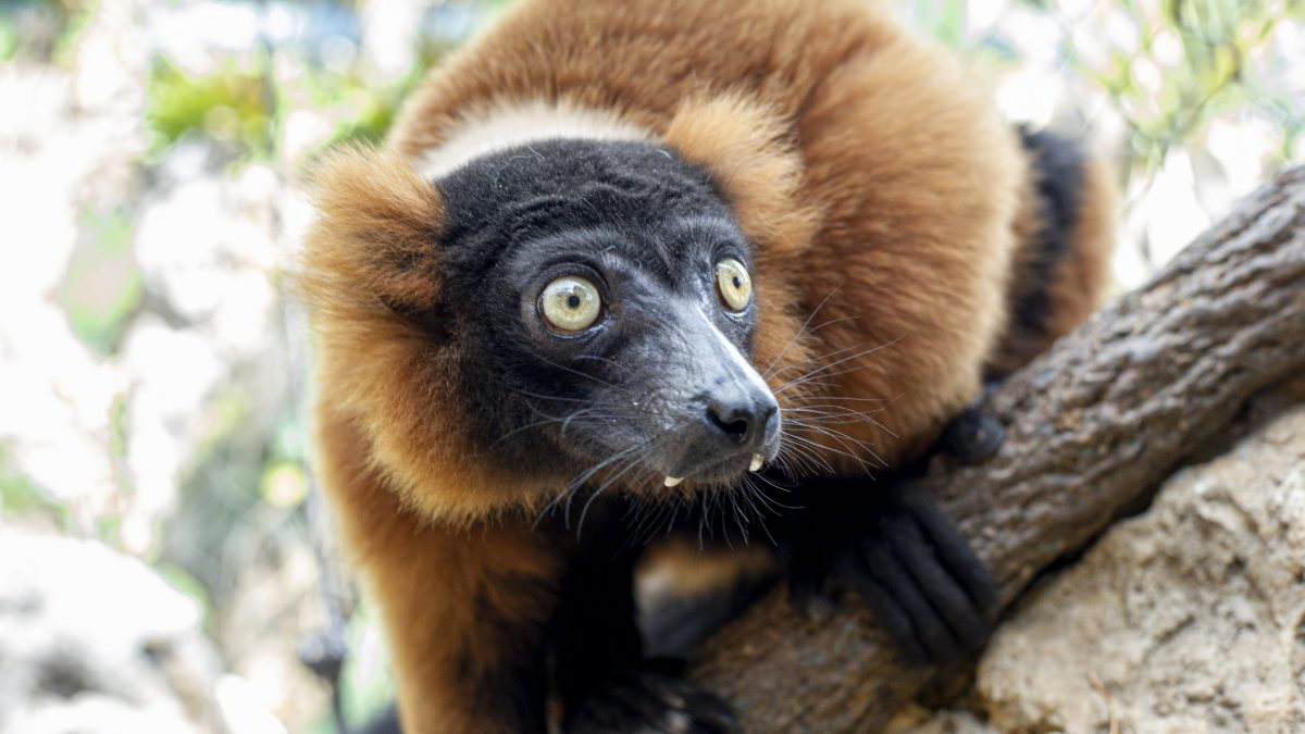 Red-Ruffed Lemur 4