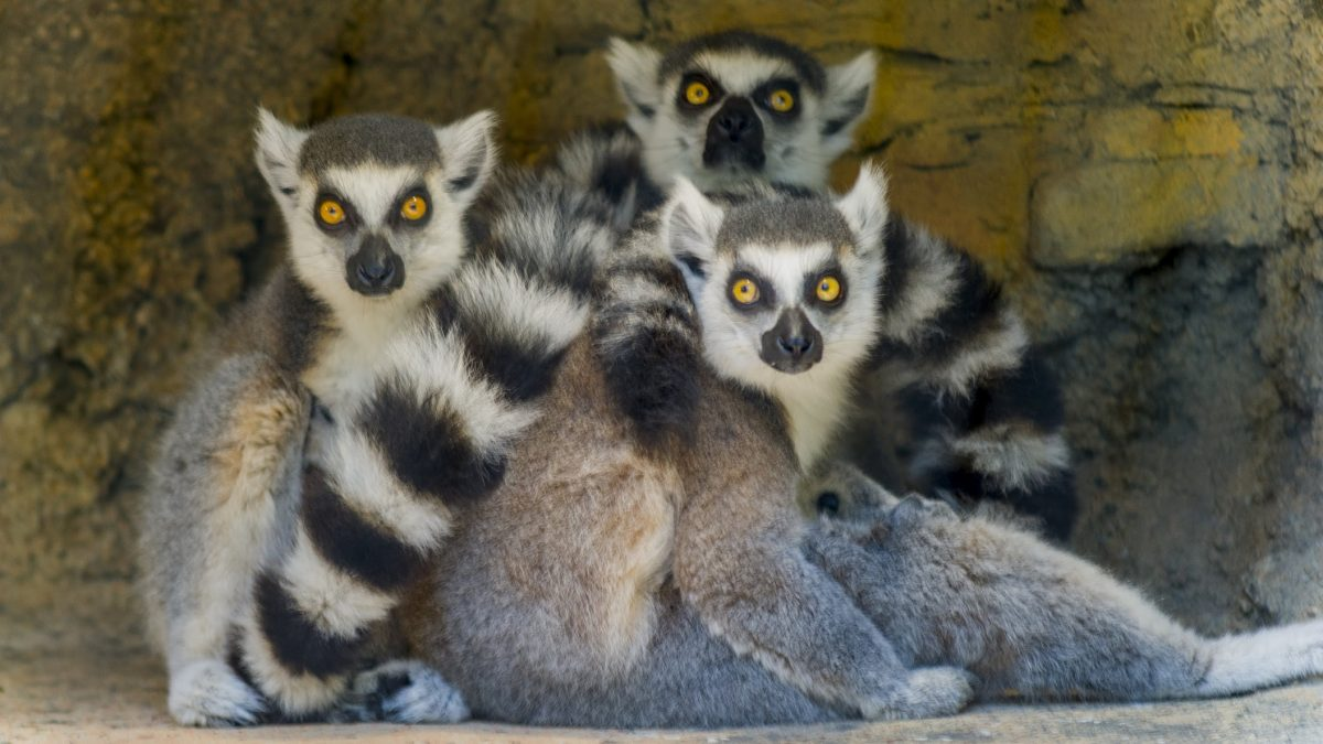 group of ring-tailed lemurs