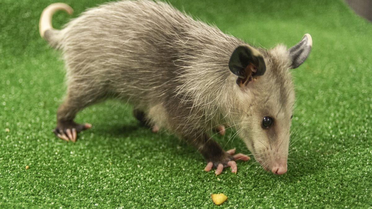 Viriginia Opossum