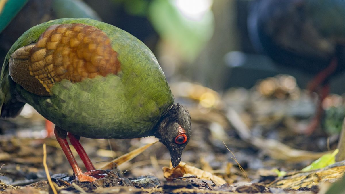 Crested Wood Partridge pecking ground