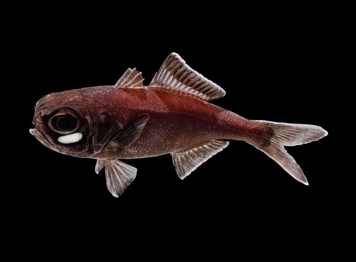 Flashlight fish composite