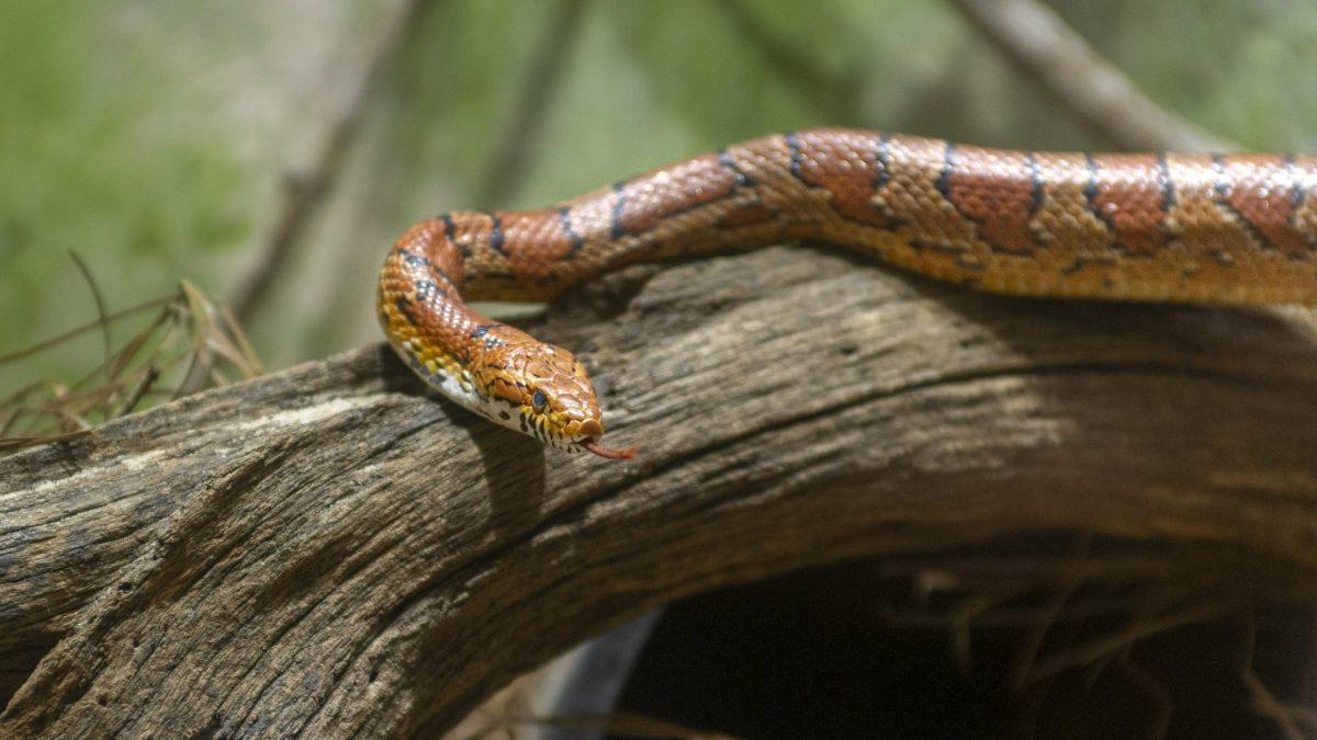 Corn Snake 1
