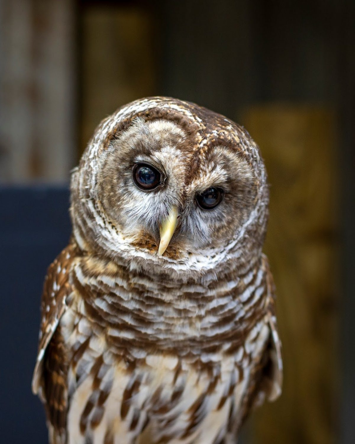 Barred Owl front view
