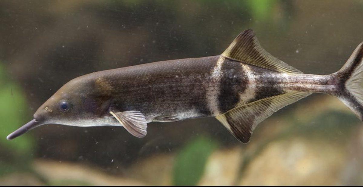 ElephantnoseFish_1200-2