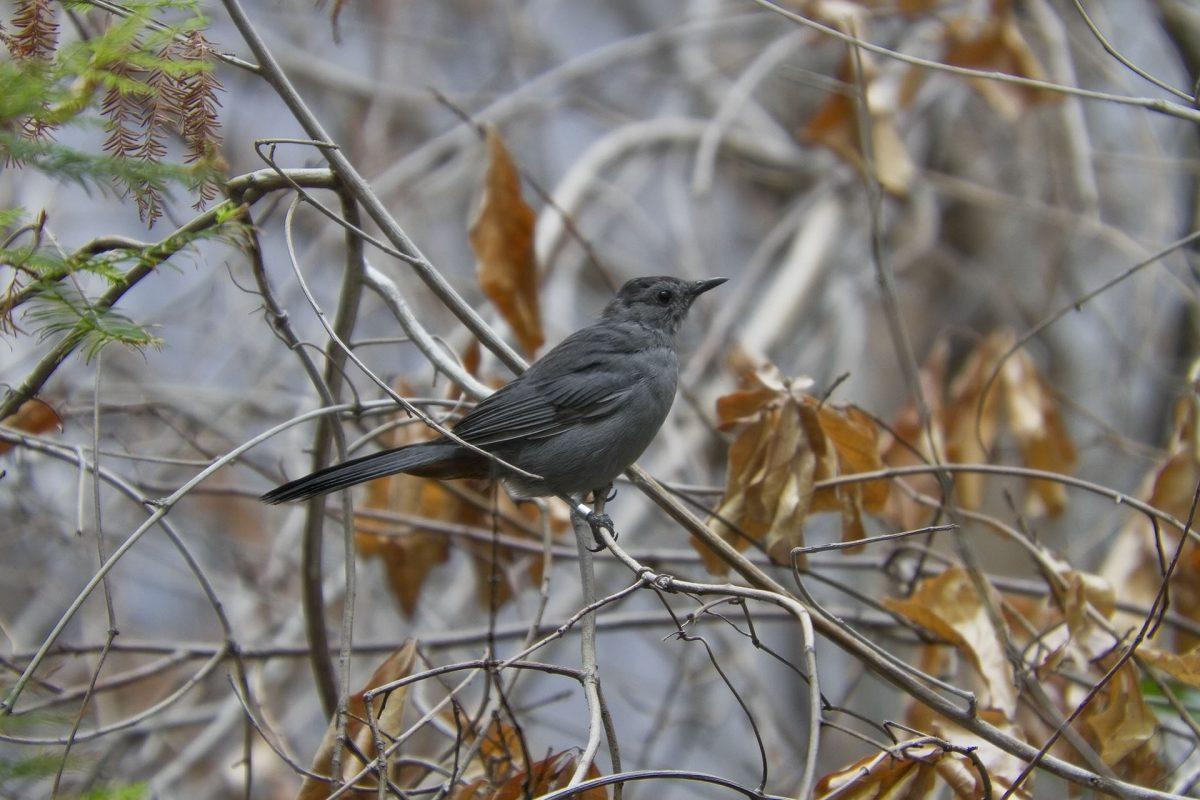 Gray Catbird 0002
