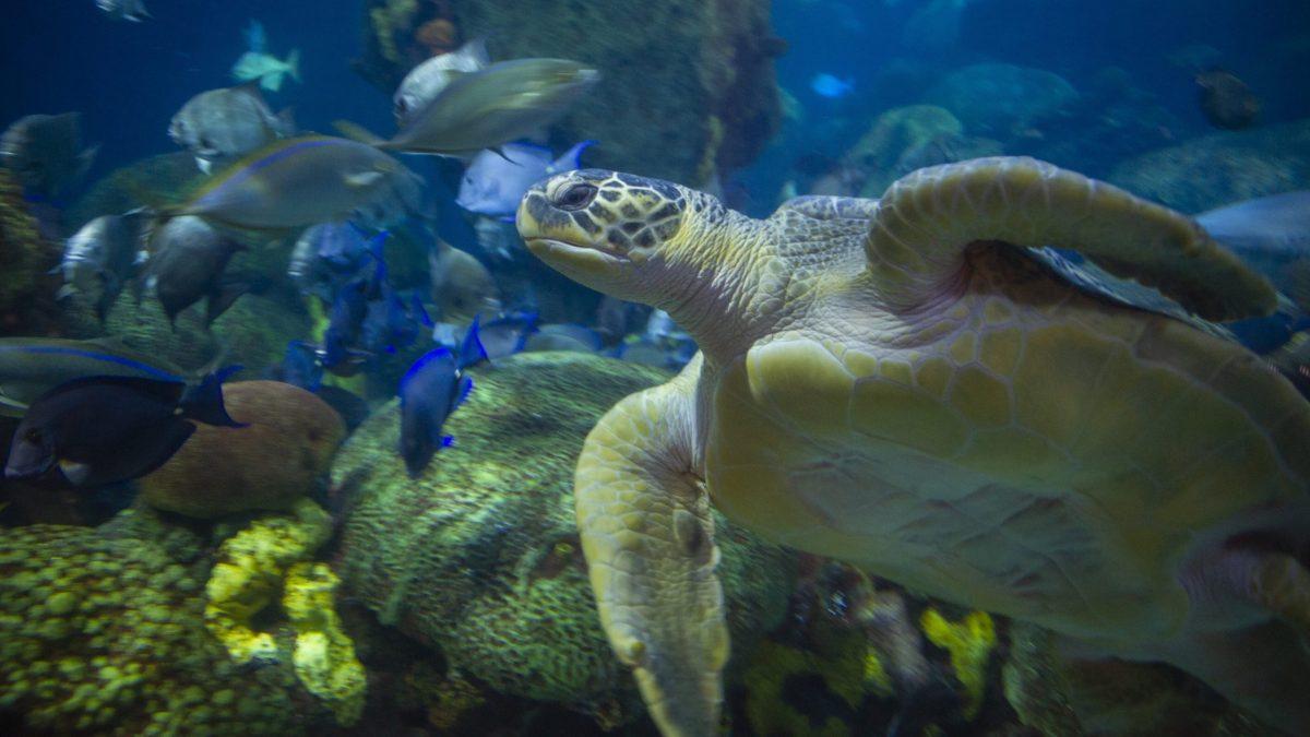 Green Sea Turtle 1
