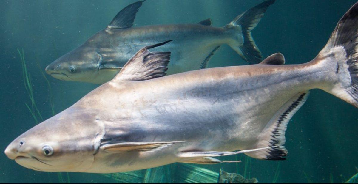 ID_GiantPangasiusCatfish_1200x490