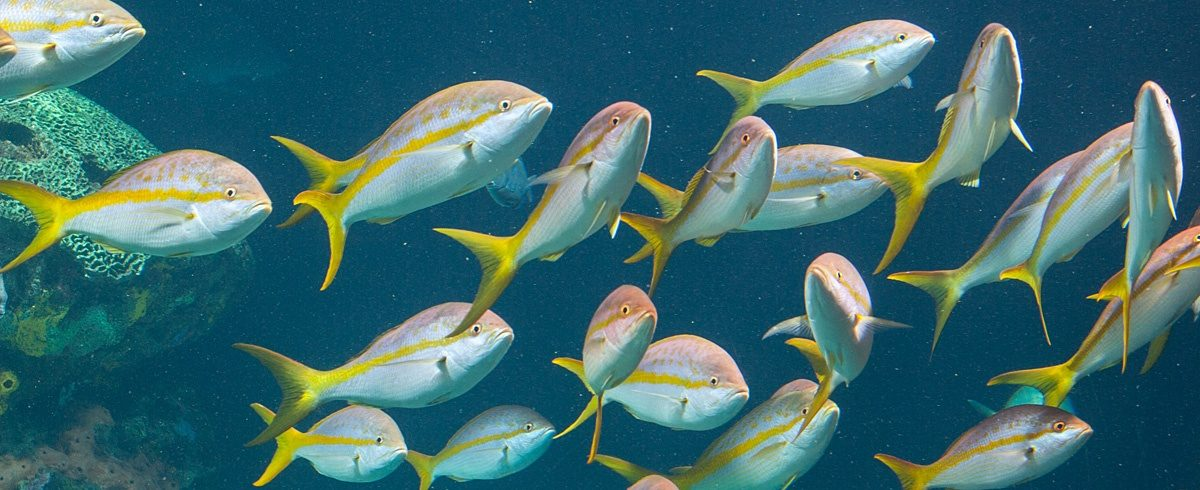 ID_YellowtailSnapper_1200x490