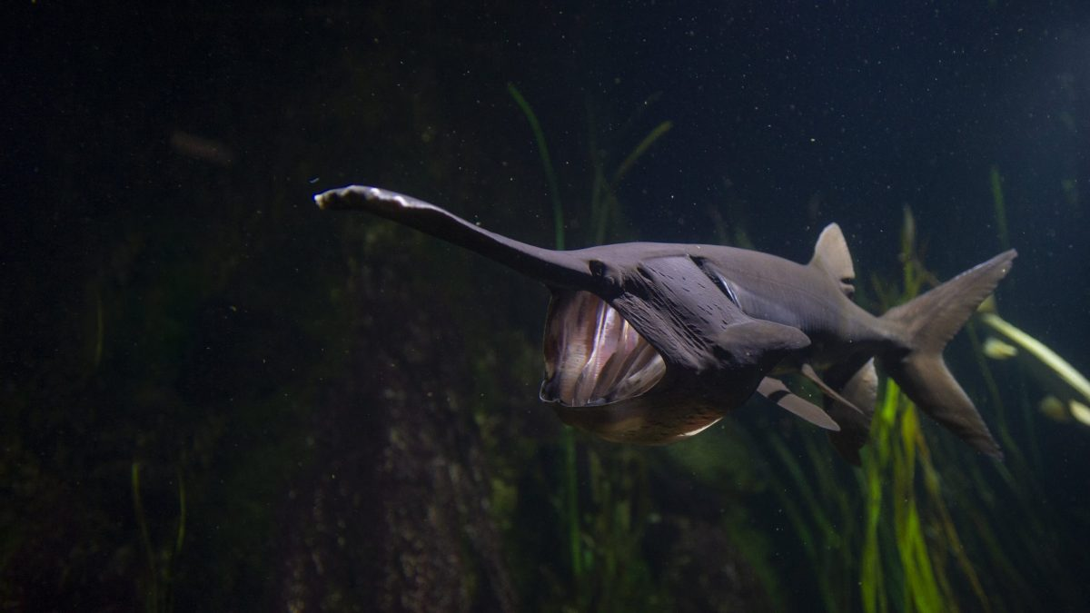Paddlefish 1