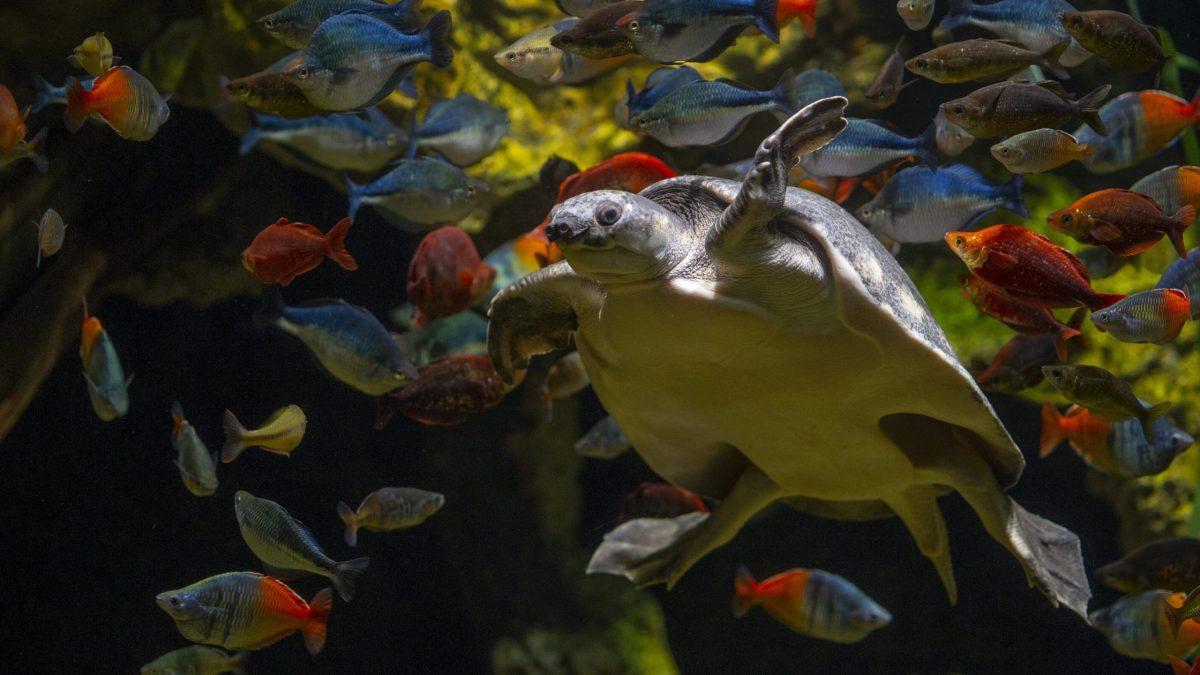 Pignosed Turtle