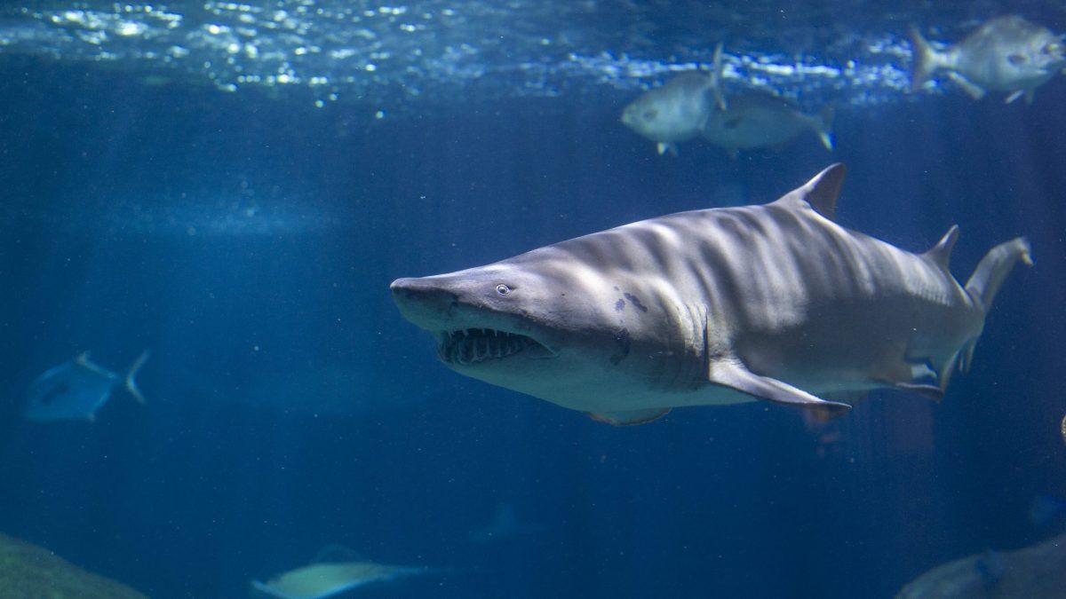 Sand Tiger Shark 1
