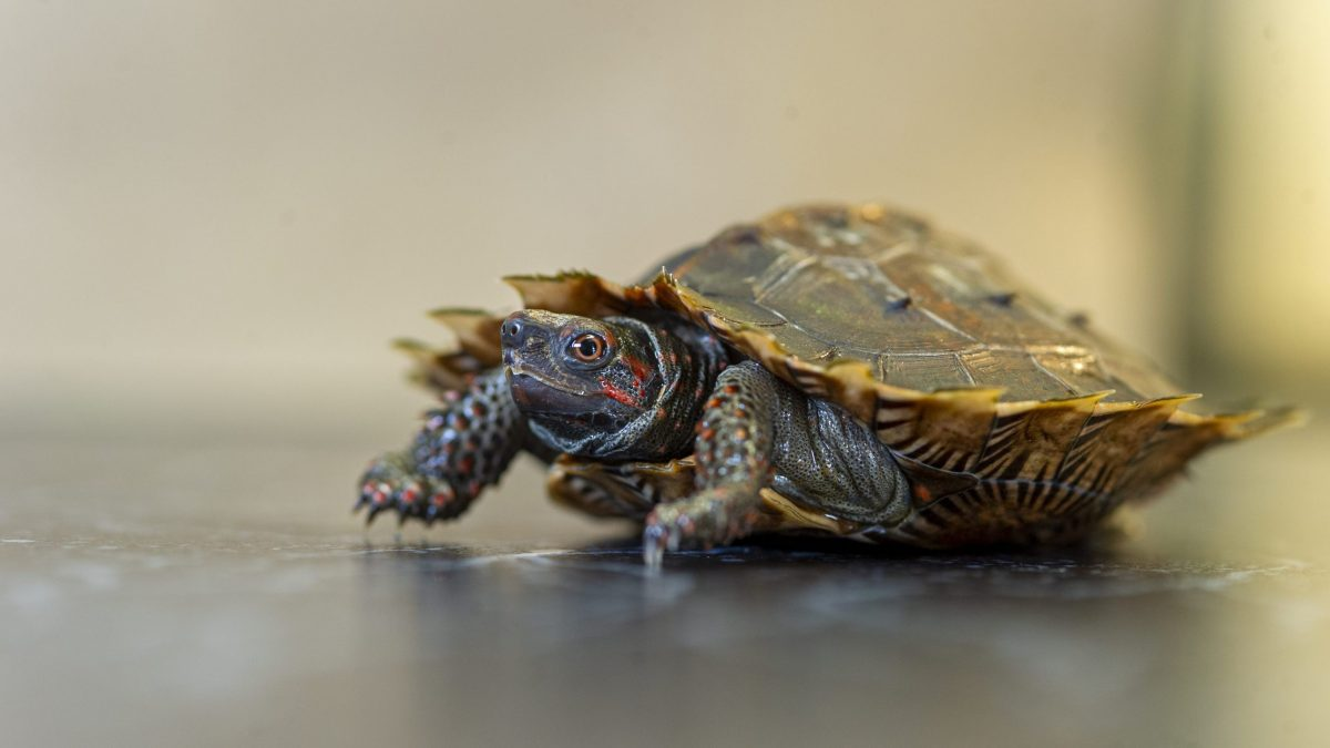 Spiny Turtle 2