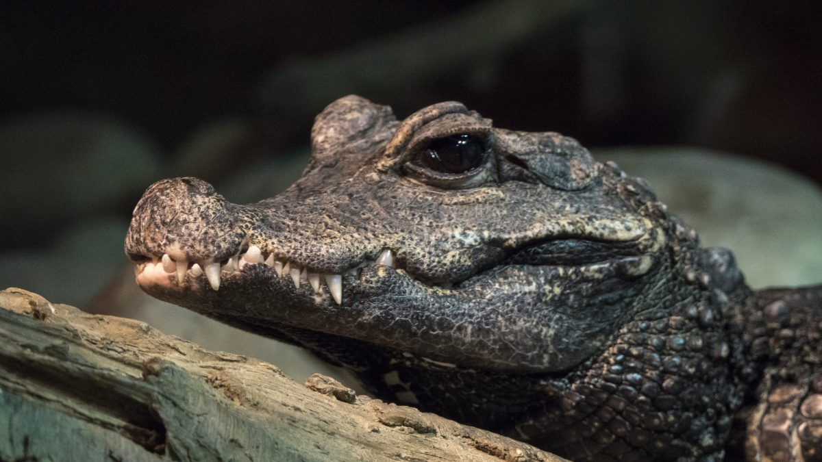 West African Dwarf Crocodile 1