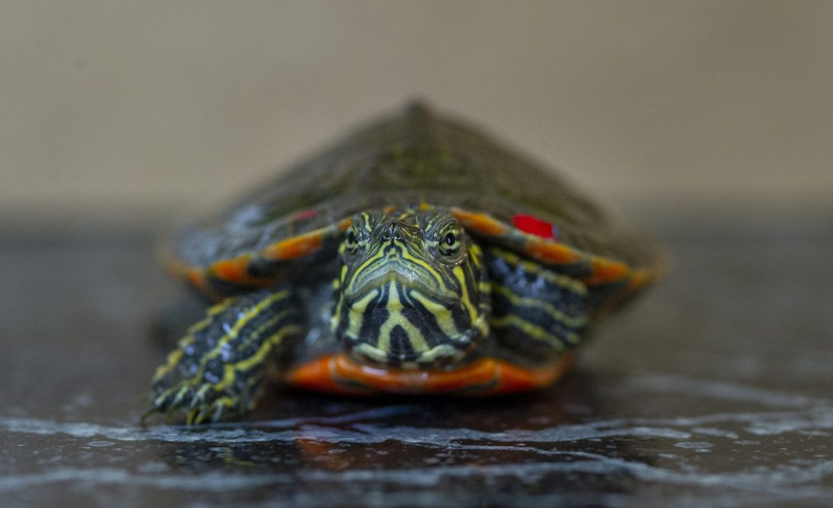 Red-bellied Box Turtle (Pseudemys rubiventris)