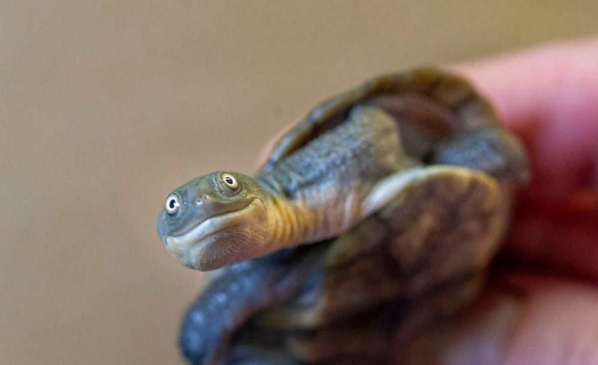 Roti Island Snakeneck Turtle (Chelodina mccordi)