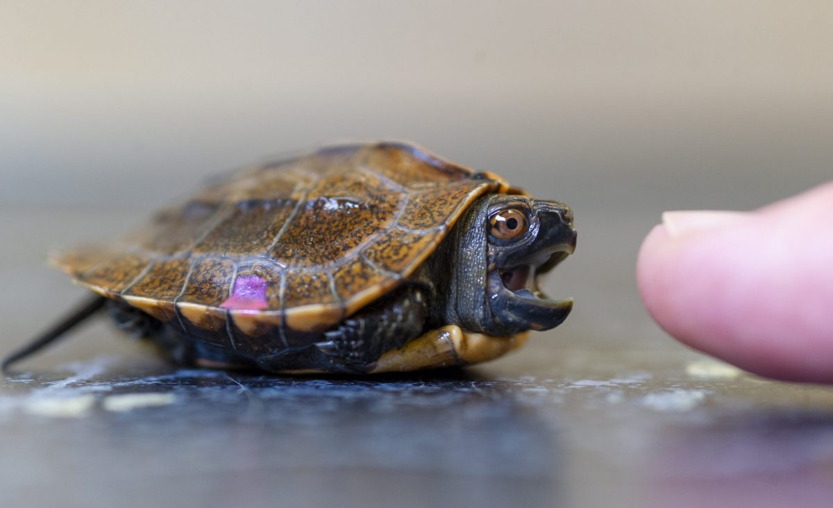 Keeled Box Turtle hatchling