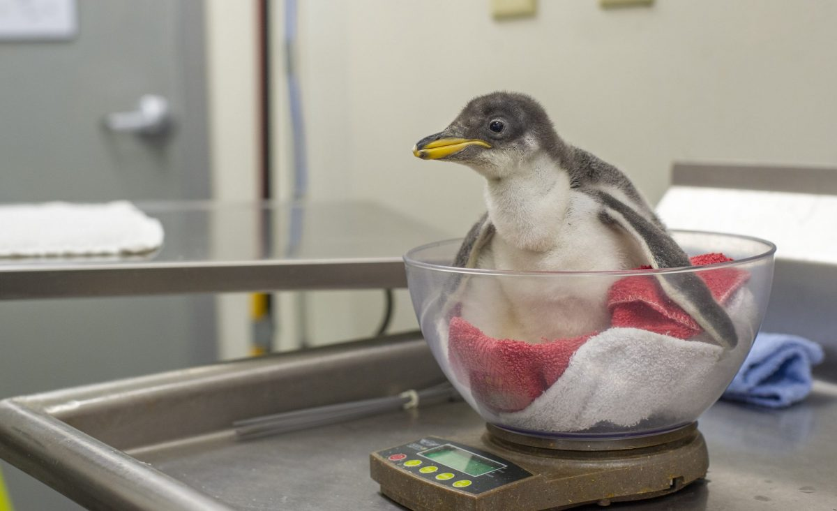 penguin chick check up at 16 days old