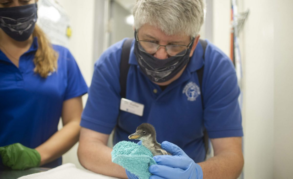 penguin chick check up at 2 days old