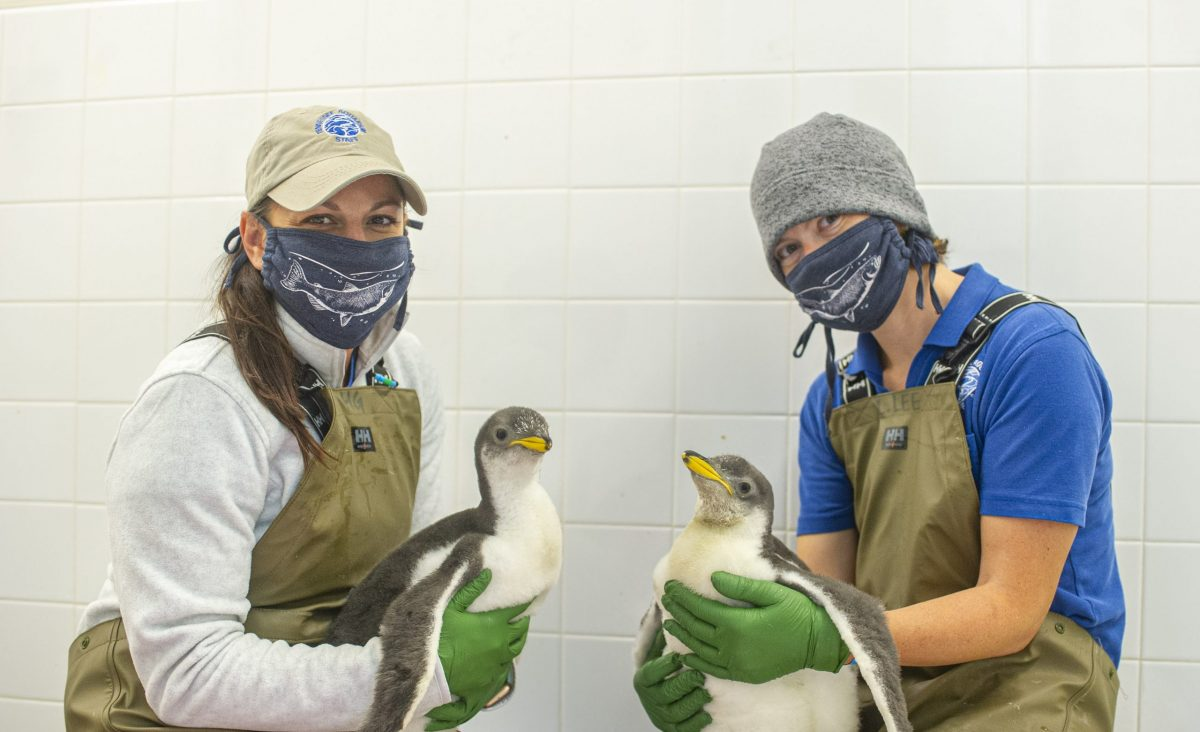 two keepers holding two penguin chicks
