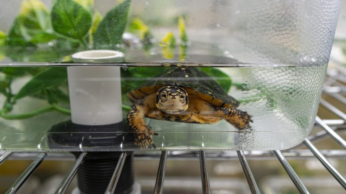 spotted turtle in quarantine