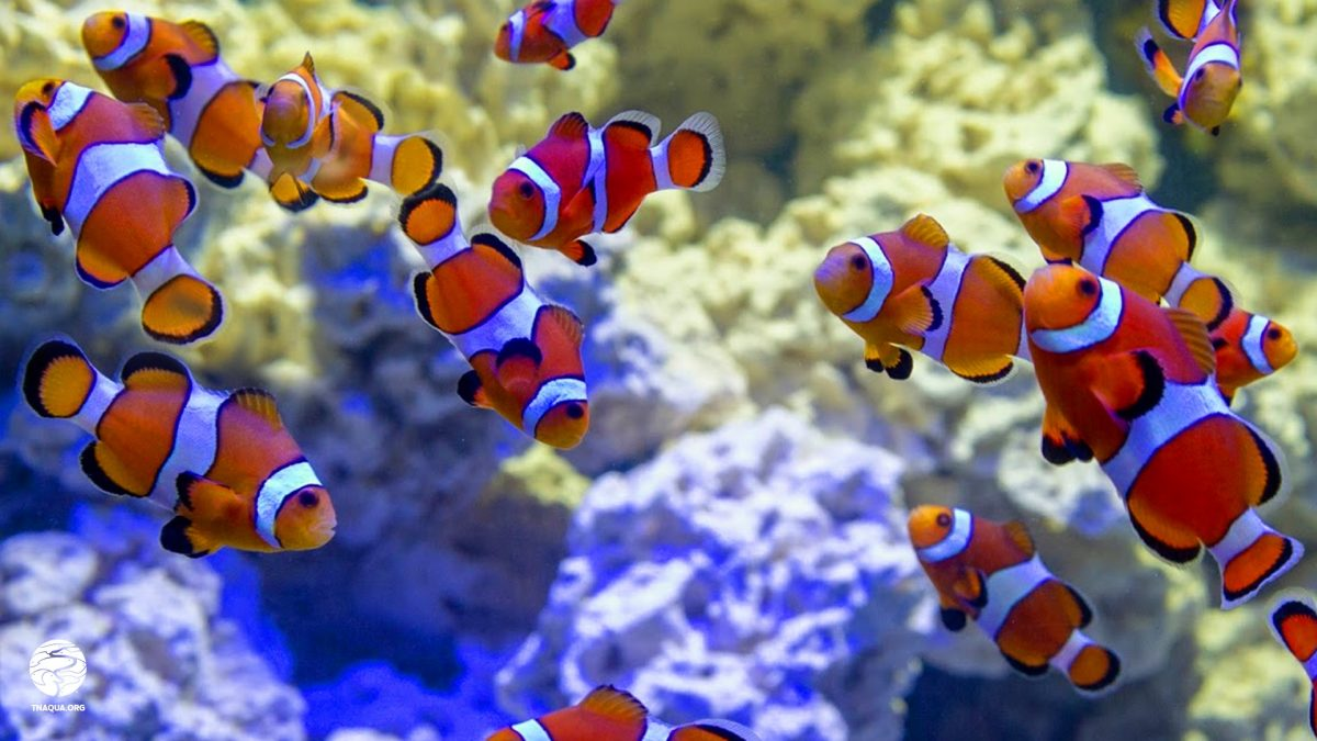 TNAq_bkgds_clownfish-2