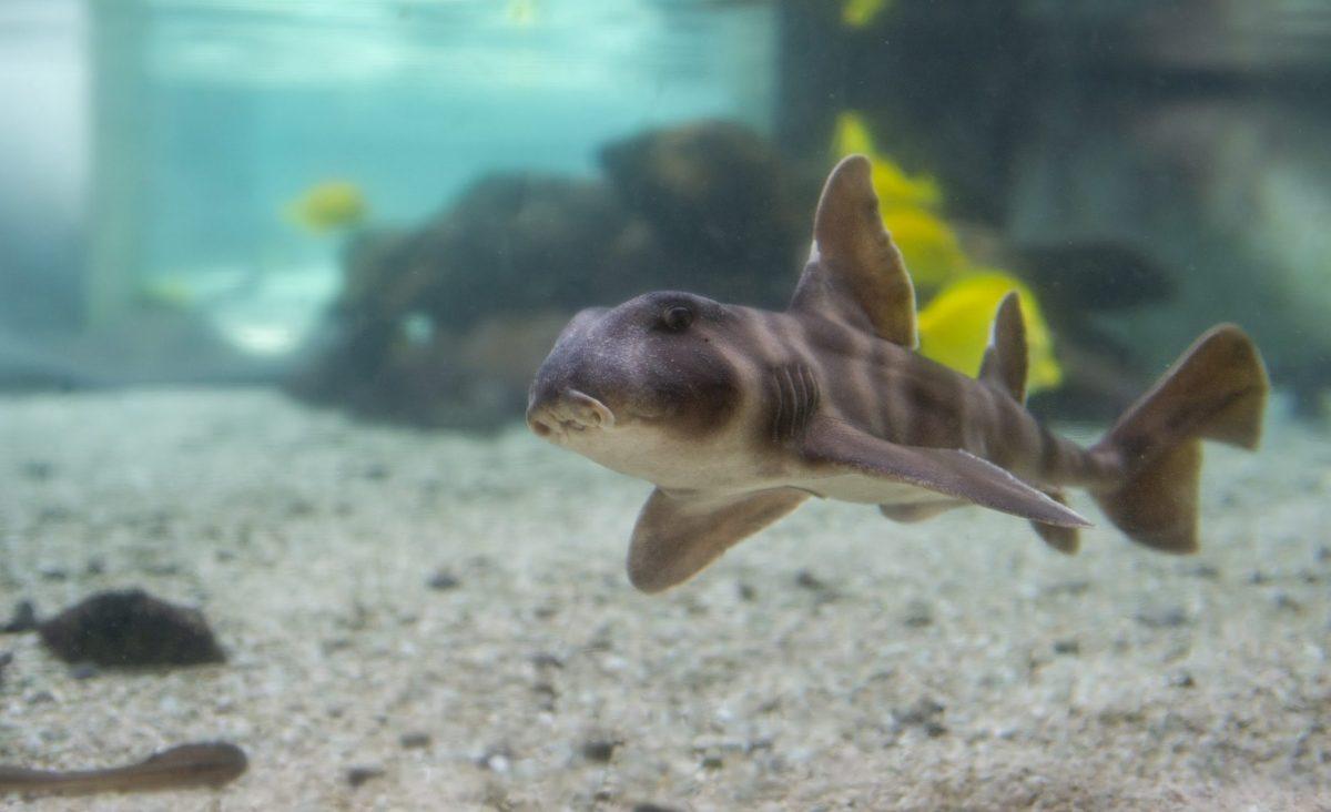 Japanese Horn Shark