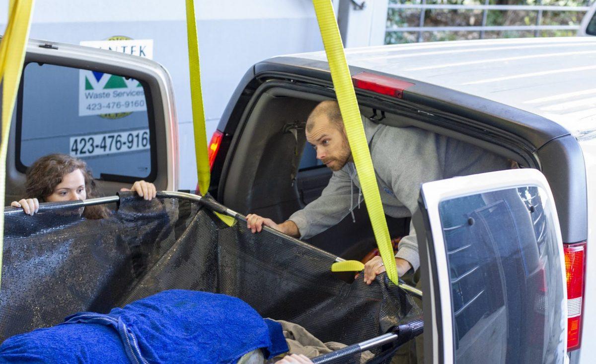 staff loading sea turtle into van