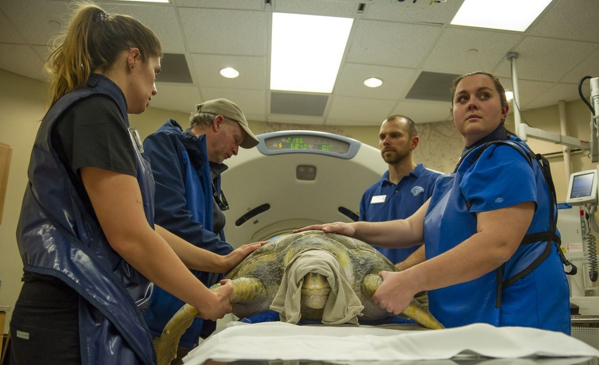 staff with sea turtle at hospital