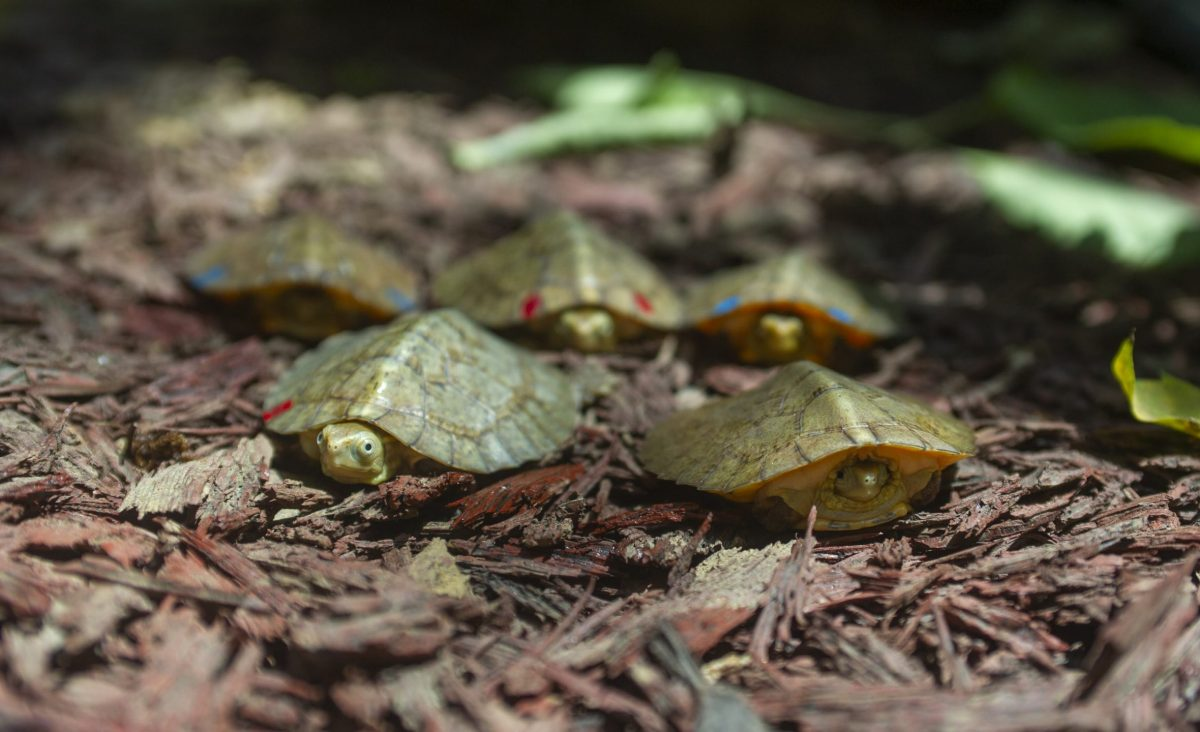 Five Four-Eyed Turtle Hatchlings