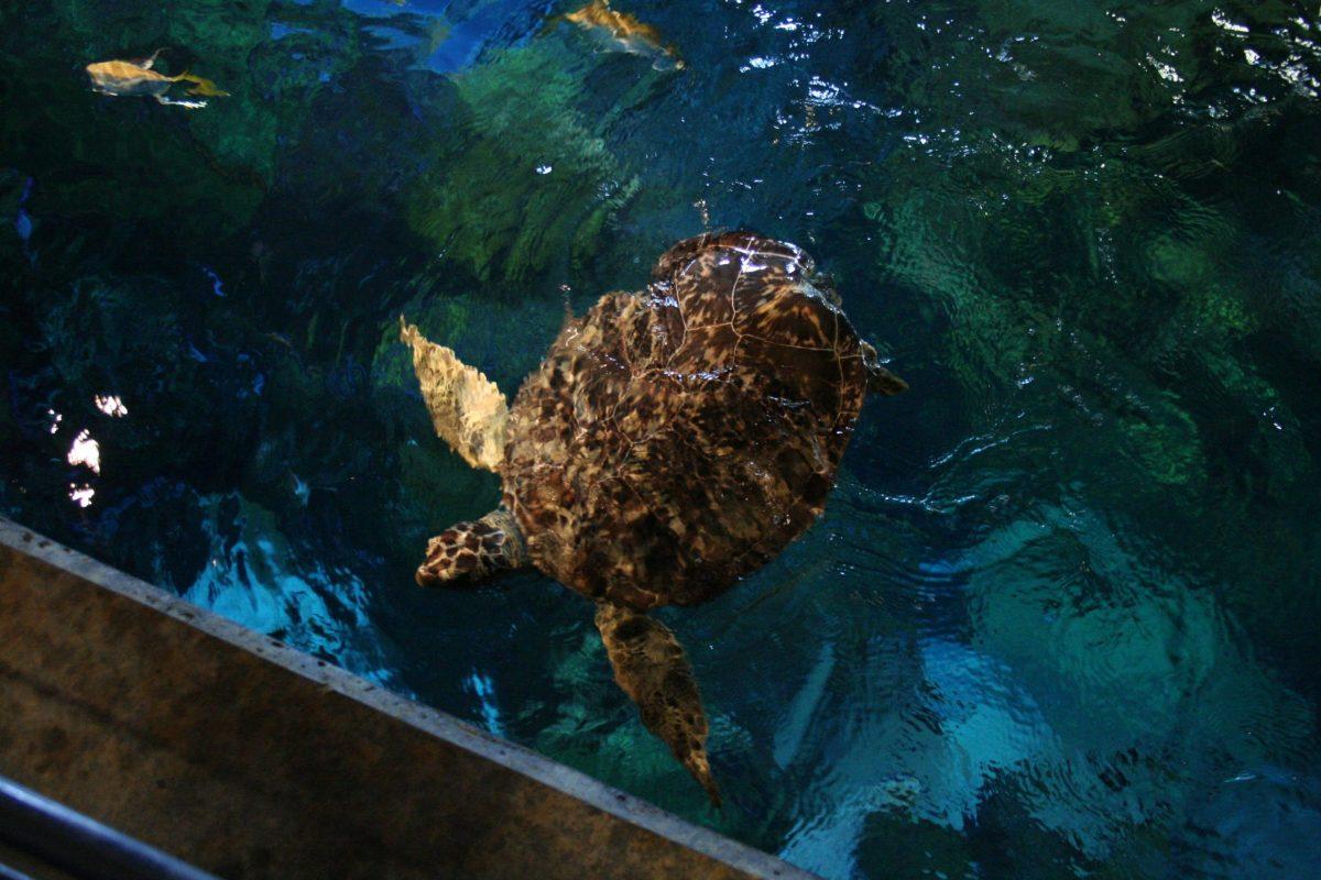 Oscar swimming in the Secret Reef tank
