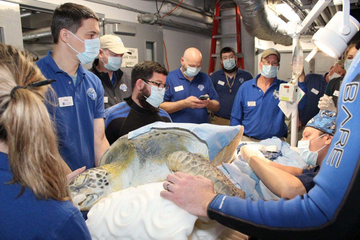 Aquarium staff surround Oscar during surgery