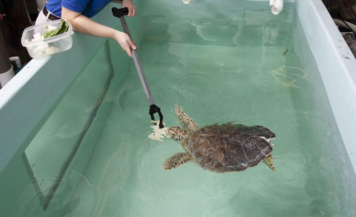 staff member feeding young sea turtle