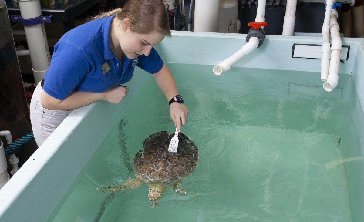 staff cleaning young sea turtle